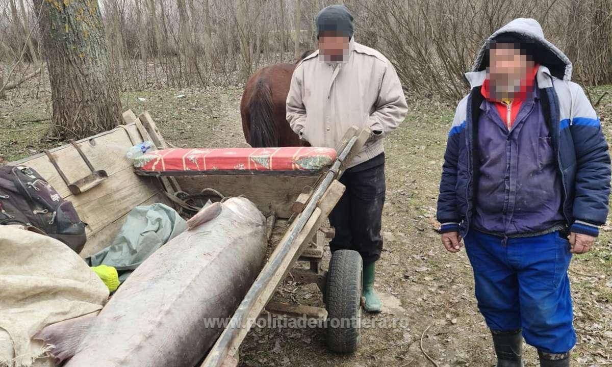 Morun de 140 kilograme găsit într-o căruță la Grindu